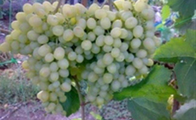 Виноград Алёшенькин - описание сорта, фото, отзывы, видео.