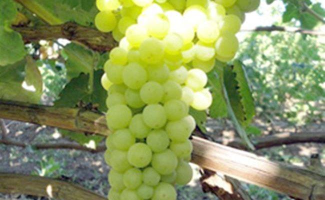 Виноград Лора: характеристика, правила разведения