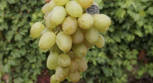 Виноград «Монарх»: описание сорта, фото и отзывы