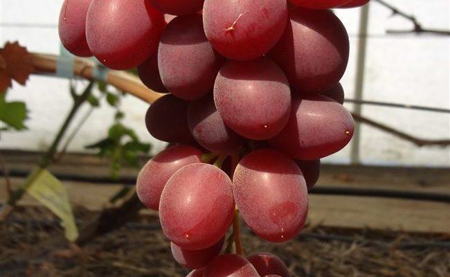 Виноград Пёстрый (Гусева С.Э.) – описание и фото сорта