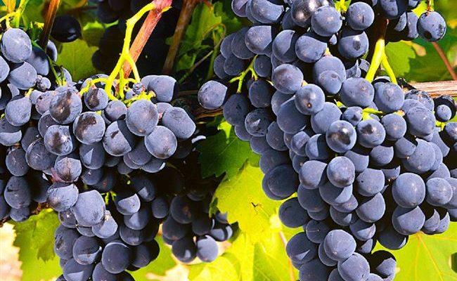 Виноград «Рошфор»: описание сорта, фото и отзывы