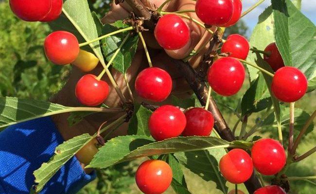 Вишня Белорусский Гриот — описание сорта, фото, отзывы садоводов