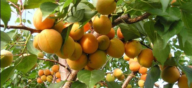 Вкус плода