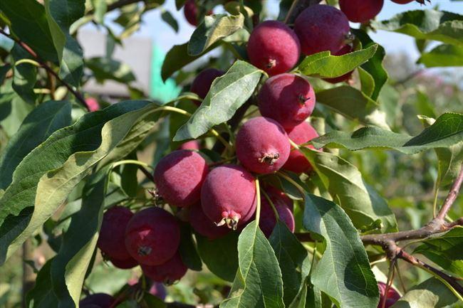 Внешний вид плодов и дерева