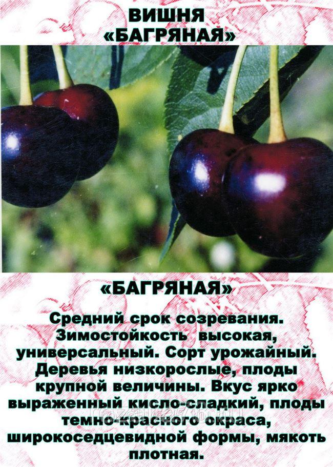 Внешний вид вишни Подбельская