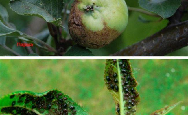 Вредители и заболевания яблонь с фото и описанием