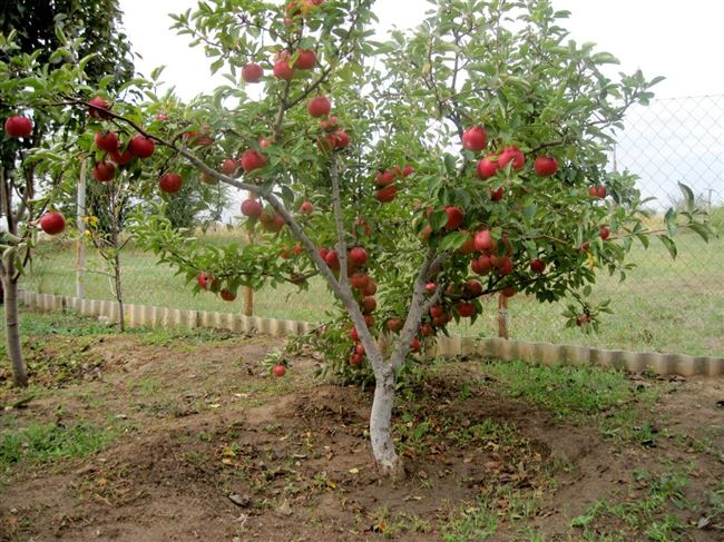 Вредители карликовых яблонь