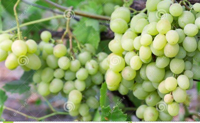 Все разновидности винограда «кеша» с подробным описанием и характеристиками сорта