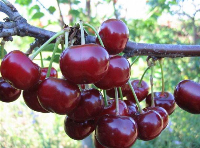 Выбор и посадка сортового саженца вишни