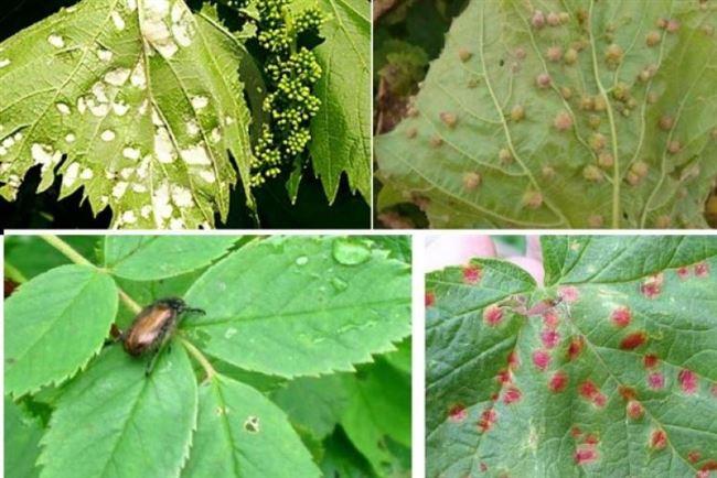 Выращивание, болезни и вредители
