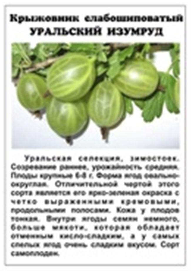 Выращивание крыжовника: сорта, правила посадки, размножение, защита от болезней