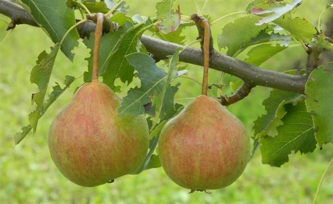 Высокоурожайный устойчивый сорт груши «Елена»