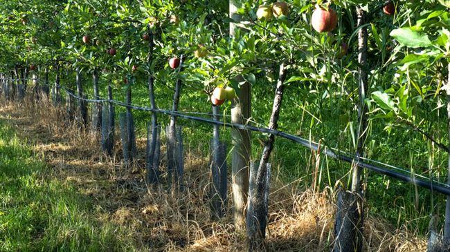 Взрослой и плодоносящей яблони