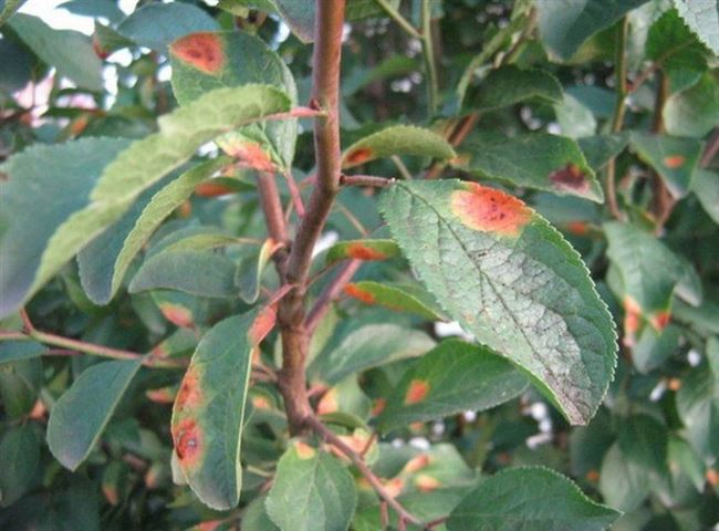 Заболевания листьев сливы: лучшие средства для защиты и лечения