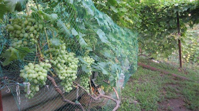 Защита винограда от птиц и насекомых