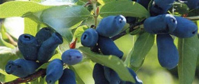 Жимолость плодовая Лазурит