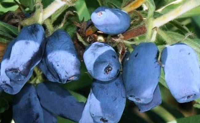 Жимолость съедобная Нарымская: основные характеристики
