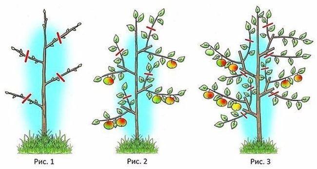 Зимняя обрезка колоновидной яблони