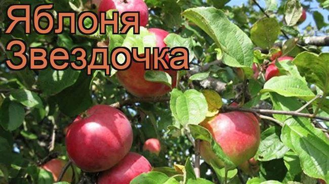 Зимний сорт яблони Звёздочка – яркий, как ёлочная игрушка