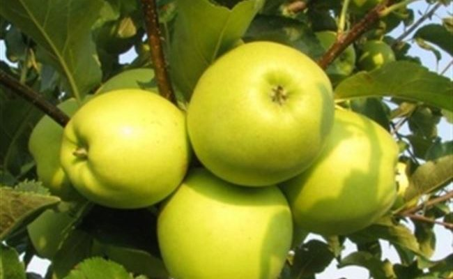 Знаменитое яблоко Ренет Симиренко